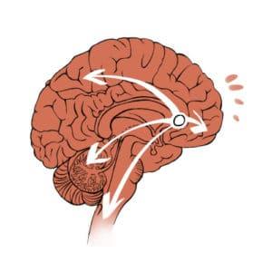 hersens amigdala vooruit